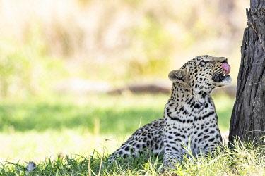 BOT5663AW Leopard, Moremi Game Reserve, Okavango Delta, Botswana