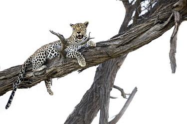 BOT5667AW Leopard in tree, Moremi Game Reserve, Okavango Delta, Botswana