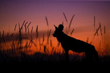 BOT5678AW African Wild Dog silhouette, Khwai River, Okavango Delta, Botswana