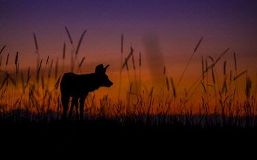 BOT5679AW African Wild Dog silhouette, Khwai River, Okavango Delta, Botswana