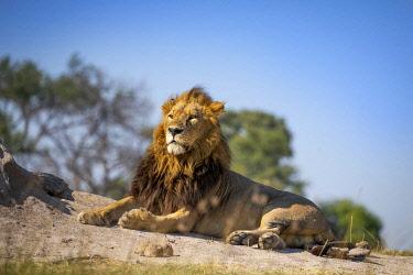 BOT5682AW Male Lion, Khwai River, Okavango Delta, Botswana