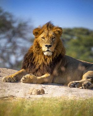 BOT5683AW Male Lion, Khwai River, Okavango Delta, Botswana