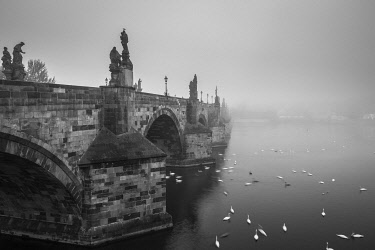 CZE2244AW Swans swimming on Vltava River by Charles Bridge during foggy morning, Prague, Bohemia, Czech Republic