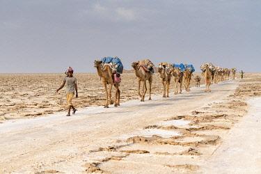CLKRM130935 Camels caravan carrying salt extracted from Dallol salt mines, Danakil Depression, Afar Region, Ethiopia, Africa
