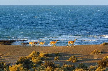 ARG3150AW Argentina, Patagonia, Reserva Natural Cabo dos Bahias, Guanaco herd