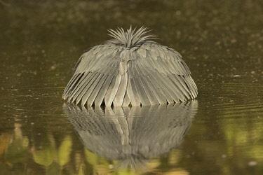 NIS00093662 Black Heron (Egretta ardesiaca) foraging, Gambia