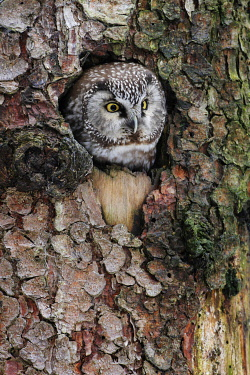 NIS00093762 Boreal Owl (Aegolius funereus) peeking through hole in tree, Bavaria, Germany