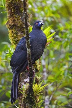NIS00094765 Black Guan (Chamaepetes unicolor), Costa Rica