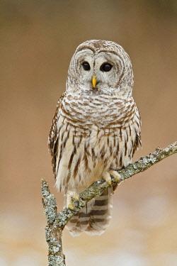 NIS00096113 Barred Owl (Strix varia), Ontario, Canada