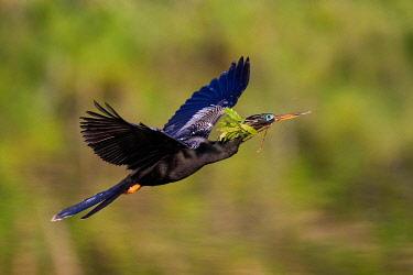 NIS00096189 Anhinga (Anhinga anhinga) flying, Florida, USA