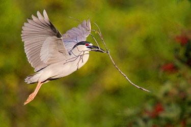 NIS00096193 Black-crowned Night Heron (Nycticorax nycticorax) flying, Florida, USA