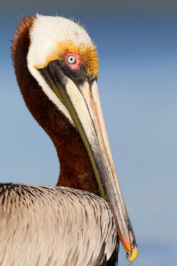 NIS00096220 Brown Pelican (Pelecanus occidentalis), Florida, USA