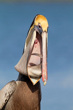 NIS00096251 Brown Pelican (Pelecanus occidentalis), Florida, USA