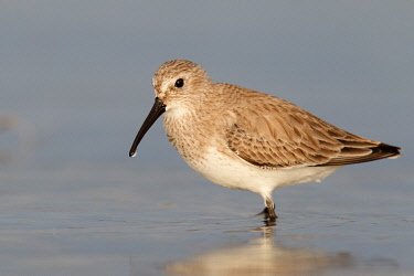NIS00096970 Dunlin (Calidris alpina), Florida, USA