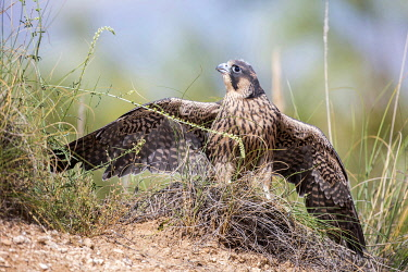 NIS00097376 Peregrine Falcon (Falco peregrinus) juvenile, Madrid, Spain