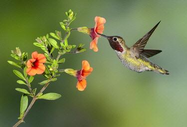 NIS00098942 Anna's Hummingbird (Calypte anna) male, British Columbia, Canada