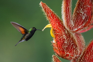 NIS00099287 Black-bellied Hummingbird (Eupherusa nigriventris), Costa Rica