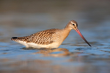NIS00099378 Bar-tailed Godwit (Limosa lapponica), Schleswig-Holstein, Germany
