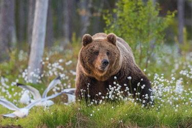 NIS00099459 Brown Bear (Ursus arctos), Finland