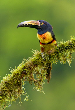 Collared Aracari (Pteroglossus torquatus) perched on a branch, Alajuela, Costa Rica