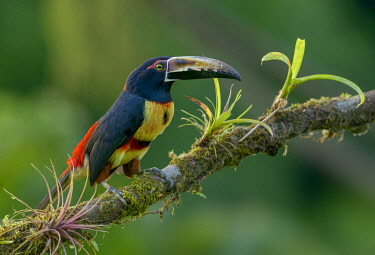 NIS00099495 Collared Aracari (Pteroglossus torquatus) perched on a branch, Alajuela, Costa Rica