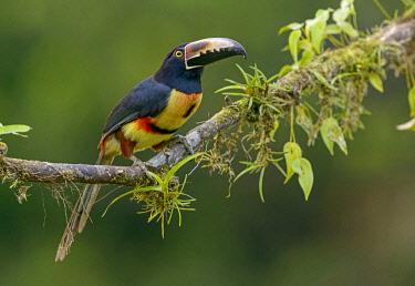 NIS00099515 Collared Aracari (Pteroglossus torquatus) perched on a branch, Alajuela, Costa Rica