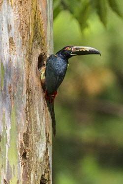 NIS00099659 Collared Aracari (Pteroglossus torquatus) at breeding hole, Costa Rica