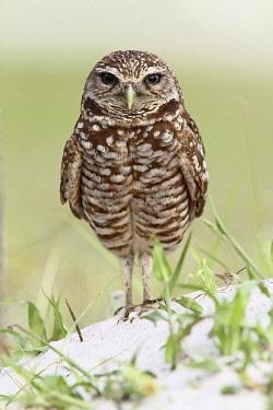 NIS00099869 Burrowing Owl (Athene cunicularia), Florida, USA