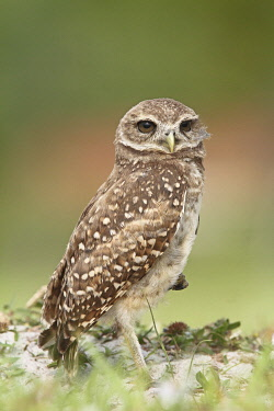 NIS00099870 Burrowing Owl (Athene cunicularia), Florida, USA
