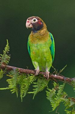 NIS00100318 Brown-hooded Parrot (Pyrilia haematotis), Costa Rica