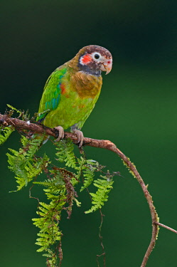 NIS00100320 Brown-hooded Parrot (Pyrilia haematotis), Costa Rica