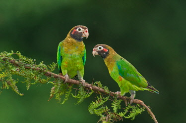 NIS00100323 Brown-hooded Parrot (Pyrilia haematotis), Costa Rica