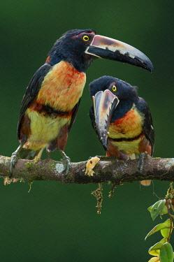 NIS00100332 Collared Aracari (Pteroglossus torquatus), Costa Rica