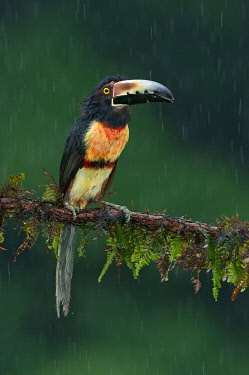 NIS00100333 Collared Aracari (Pteroglossus torquatus), Costa Rica