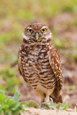 NIS00100608 Burrowing Owl (Athene cunicularia), Florida, USA