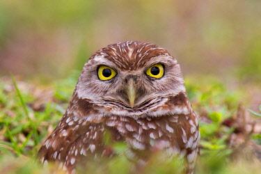 NIS00100617 Burrowing Owl (Athene cunicularia), Florida, USA