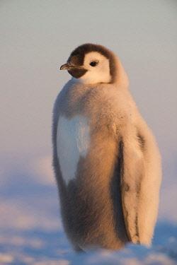 NIS00102699 Emperor Penguin (Aptenodytes forsteri) juvenile, Queen Maud Land, Antarctica