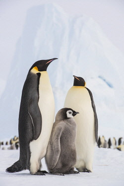 NIS00102708 Emperor Penguin (Aptenodytes forsteri) with juvenile, Queen Maud Land, Antarctica