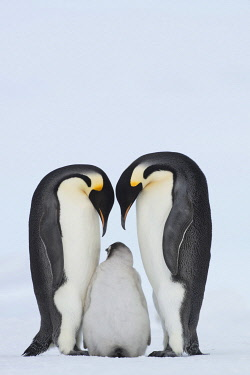 NIS00102829 Emperor Penguin (Aptenodytes forsteri) with juvenile, Queen Maud Land, Antarctica