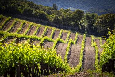 FRA11876AW France, Corse, Sartene, Vineyards landscape.