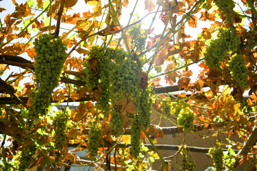 AFG0015AW Bunches of green grapes hanging on a vine, Kabul, Afghanistan