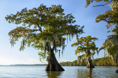 USA15608AW North America; USA; American; South; Seep South; Louisiana; Jefferson Parish; St.Martinville; Lake Fausse; Cypress Tree