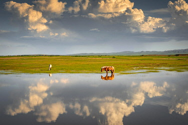 IBLBAY05769980 Reflection of horses in water, green pasture, Bulgan province, Mongolia, Asia