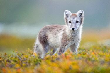 IBXDEL05769622 Arctic fox (alopex lagopus), autumn, Dovrefjell, Norway, Europe
