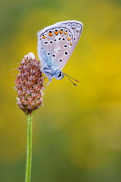 IBXDEL05774619 Chalkhill Blue (Polyommatus coridon) on flower, Bavaria, Germany, Europe