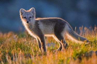 IBXDEL05774642 Arctic fox (alopex lagopus), young animal standing in the fjell, back light, Dovrefjell National Park, Norway, Europe