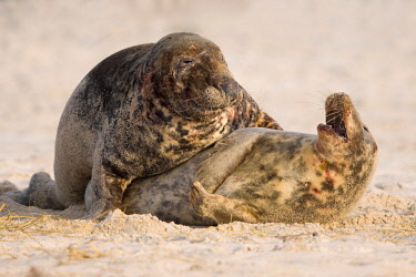 IBXDEL05774749 Grey seals (Halichoerus grypus), pair of animals mating in the sand, Wadden Sea National Park of Lower Saxony, Germany, Europe