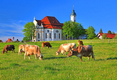 IBXGNG05780601 Pasture with cows in front of the pilgrimage church, Wieskirche, Steingaden, Romantic Road, Pfaffenwinkel, Upper Bavaria, Bavaria, Germany, Europe
