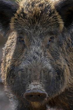 IBXHJE05773495 Wild boar (Sus scrofa), Boar ,Daun, Rhineland-Palatinate, Germany, Europe