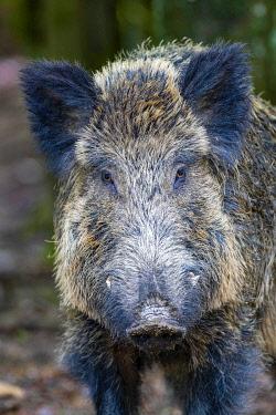 IBXHJE05773497 Wild boar (Sus scrofa), Wild boar, portrait, Volcanic Eifel, Rhineland-Palatinate, Germany, Europe